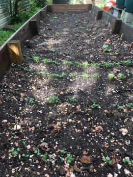 Kale, Chard, Lettuce