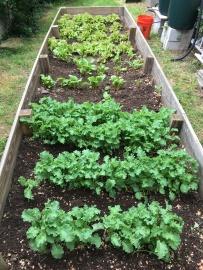 Kale, Rainbow Chard, Lettuce