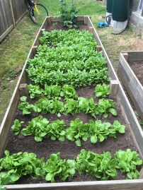 Lettuce, Spinach
